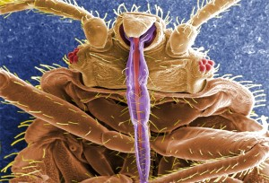 Frontal view of a bed bug