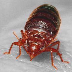 Full grown bed bug