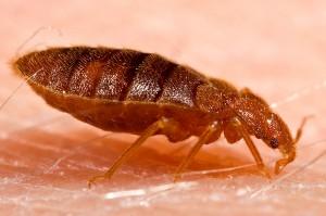Adult bug