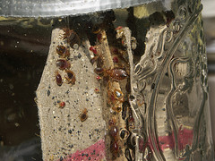 Adults, nymphs, eggs, feces, shed skins of bed bugs on edge of cardboard