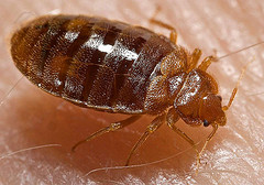 Top view of a matured bed bug